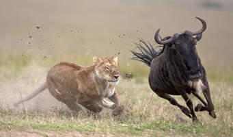 Sư tử biểu tượng cho sức mạnh và tính chinh phục cao